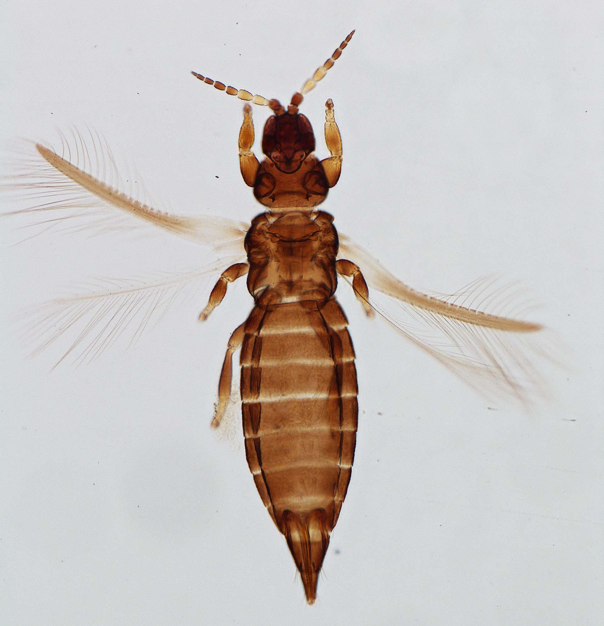 Heterothrips australis