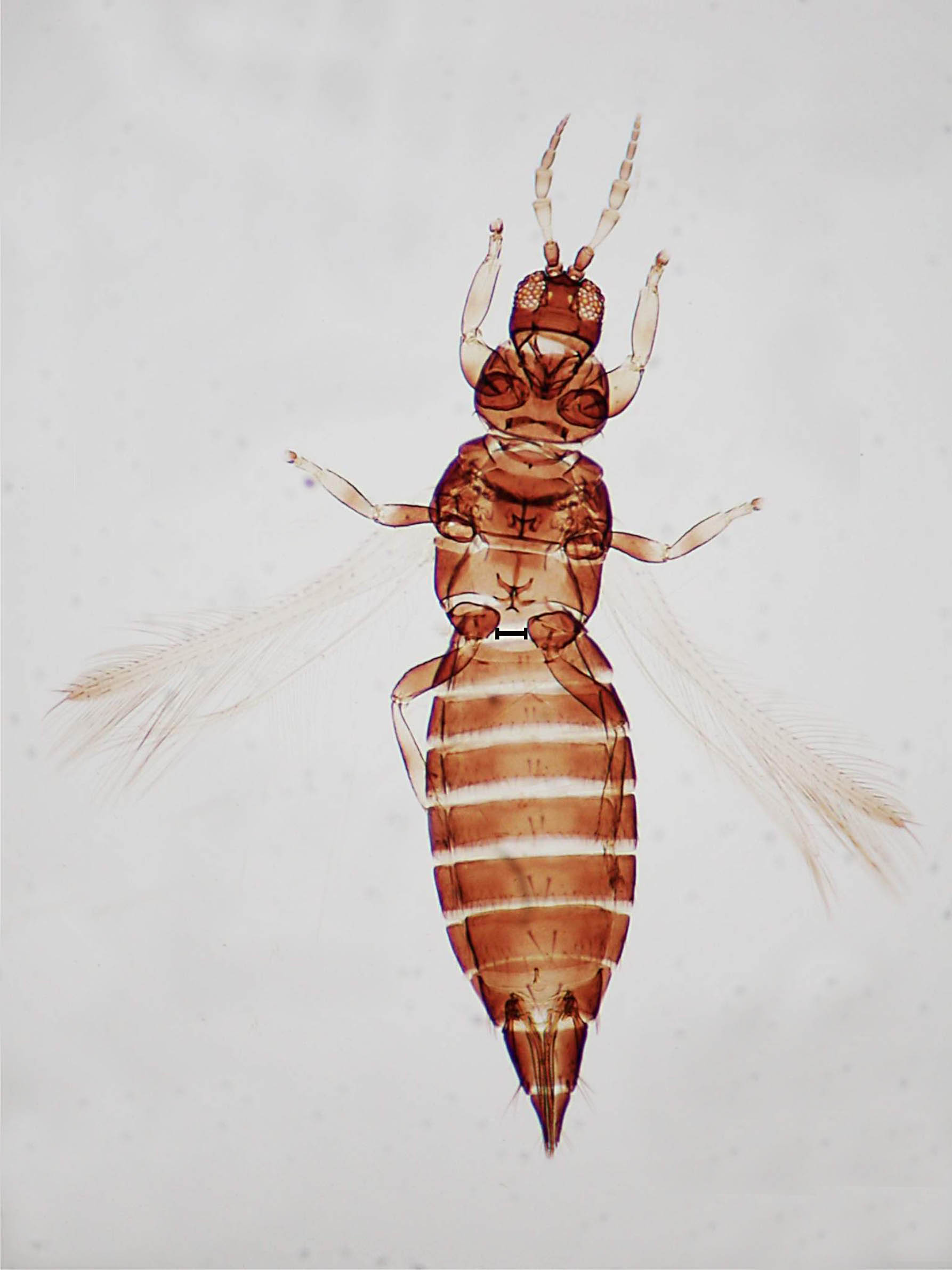 Heterothrips peixotoa