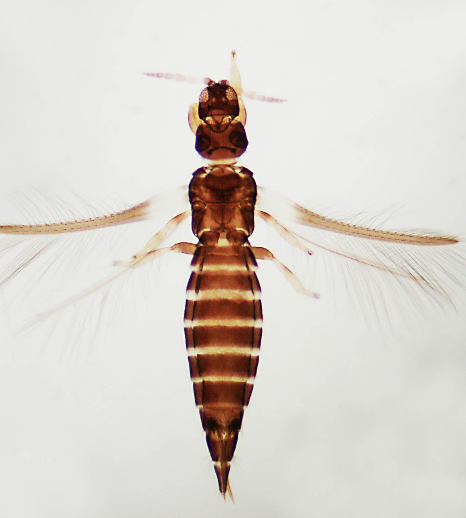 Heterothrips sanctaecatharinae
