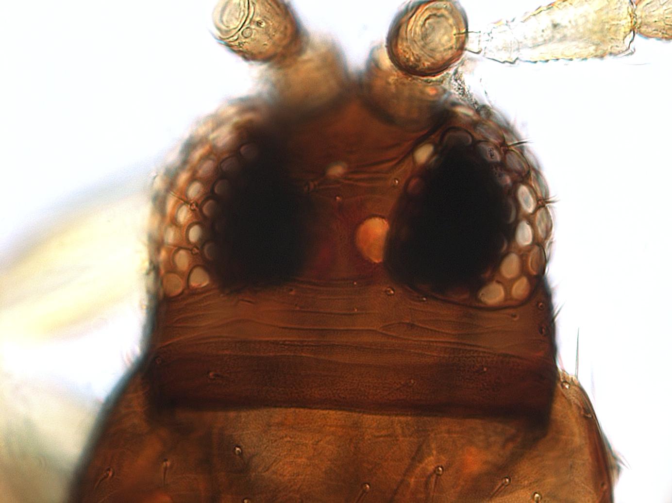 Heterothrips varitibia