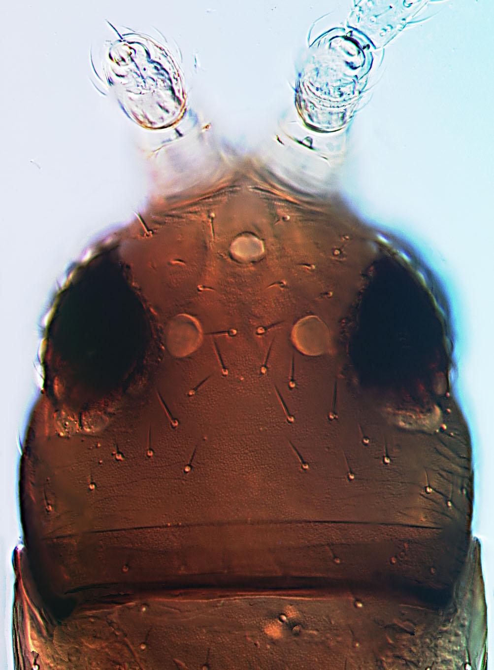 Stomatothrips rotundus