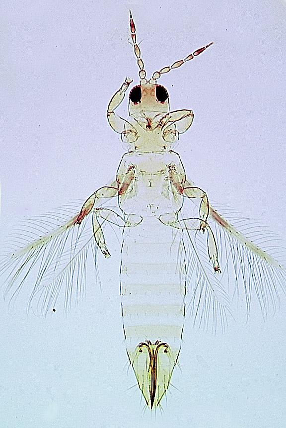 Danothrips trifasciatus