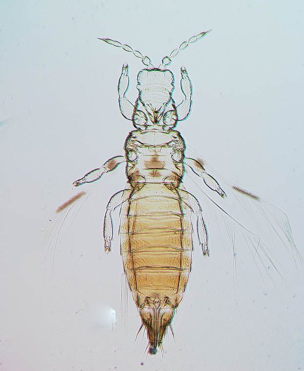 Dendrothripoides innoxius