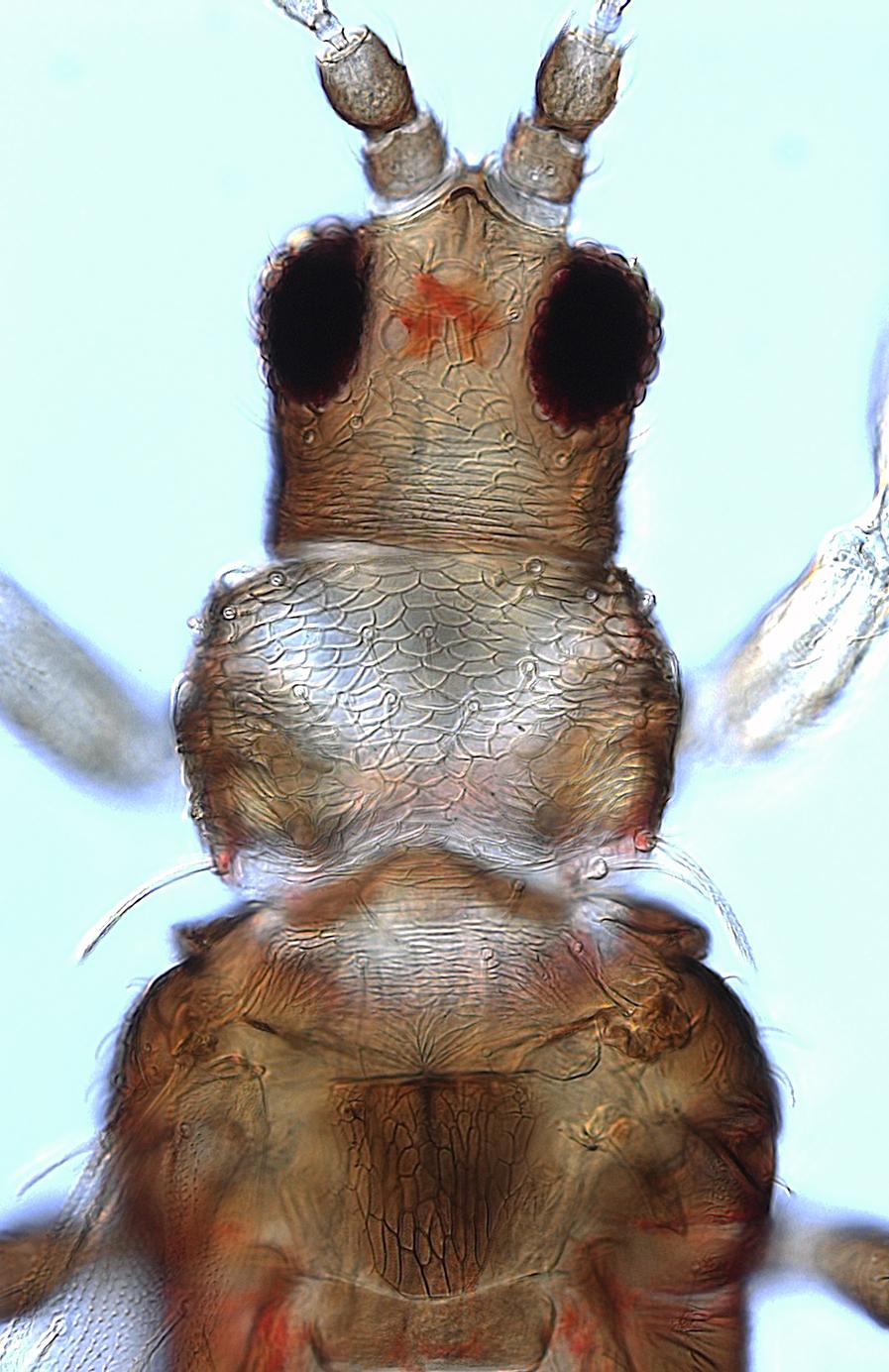 Echinothrips pinnatus
