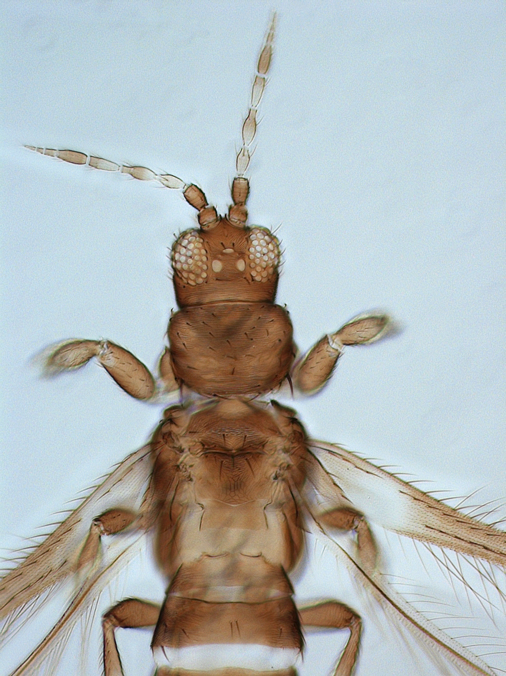 Enneothrips fuscus