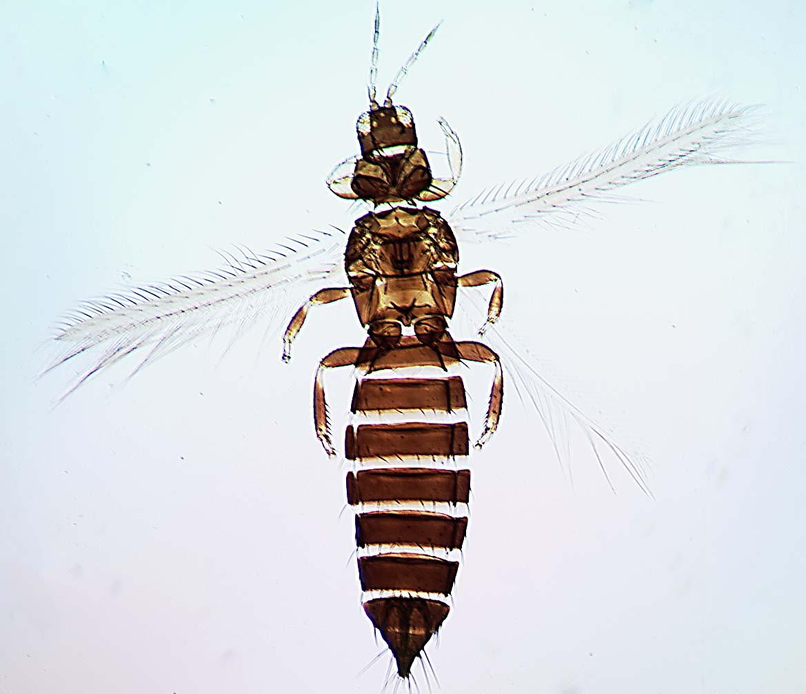 Frankliniella australis