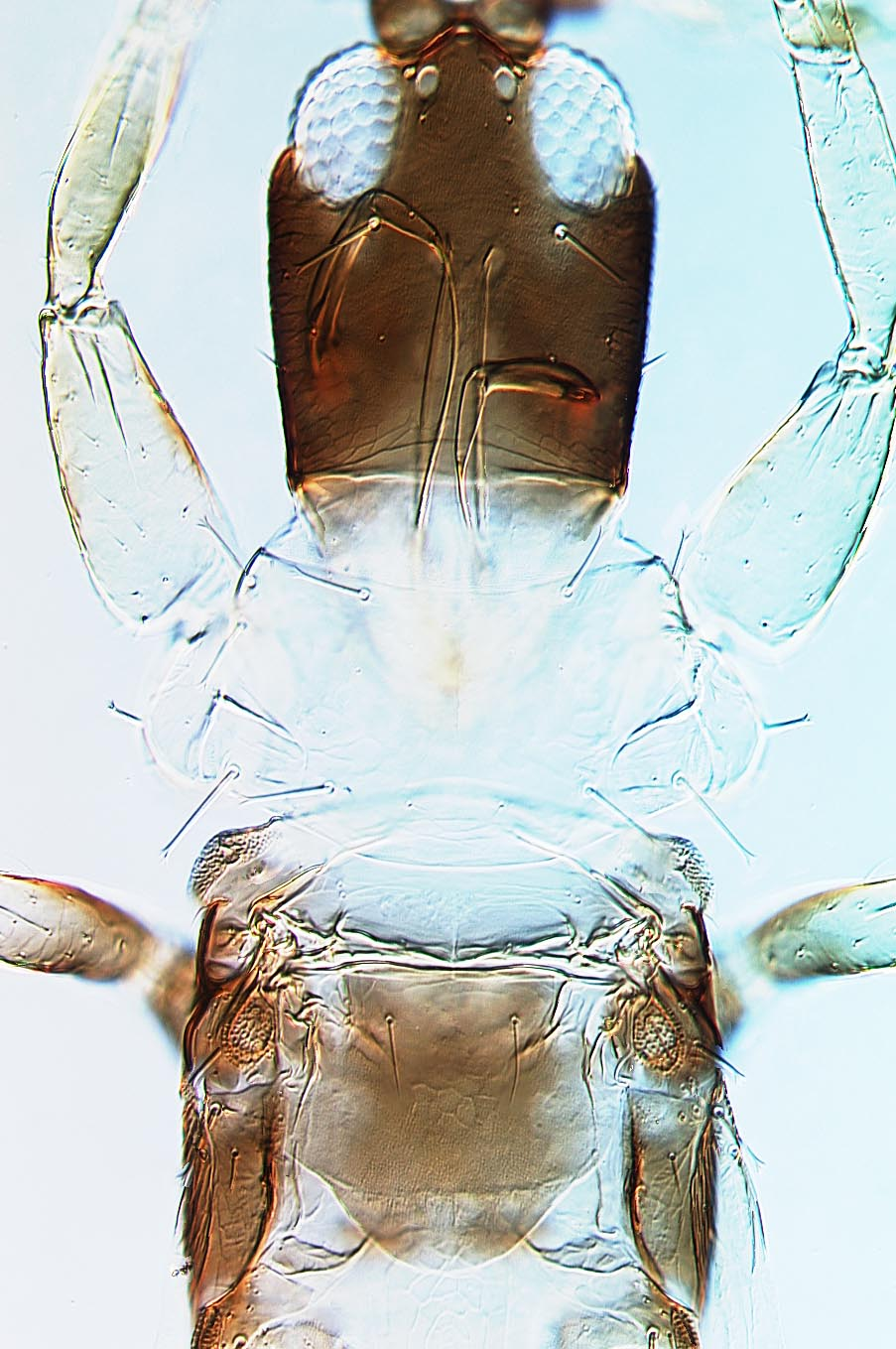 Adraneothrips brasiliensis