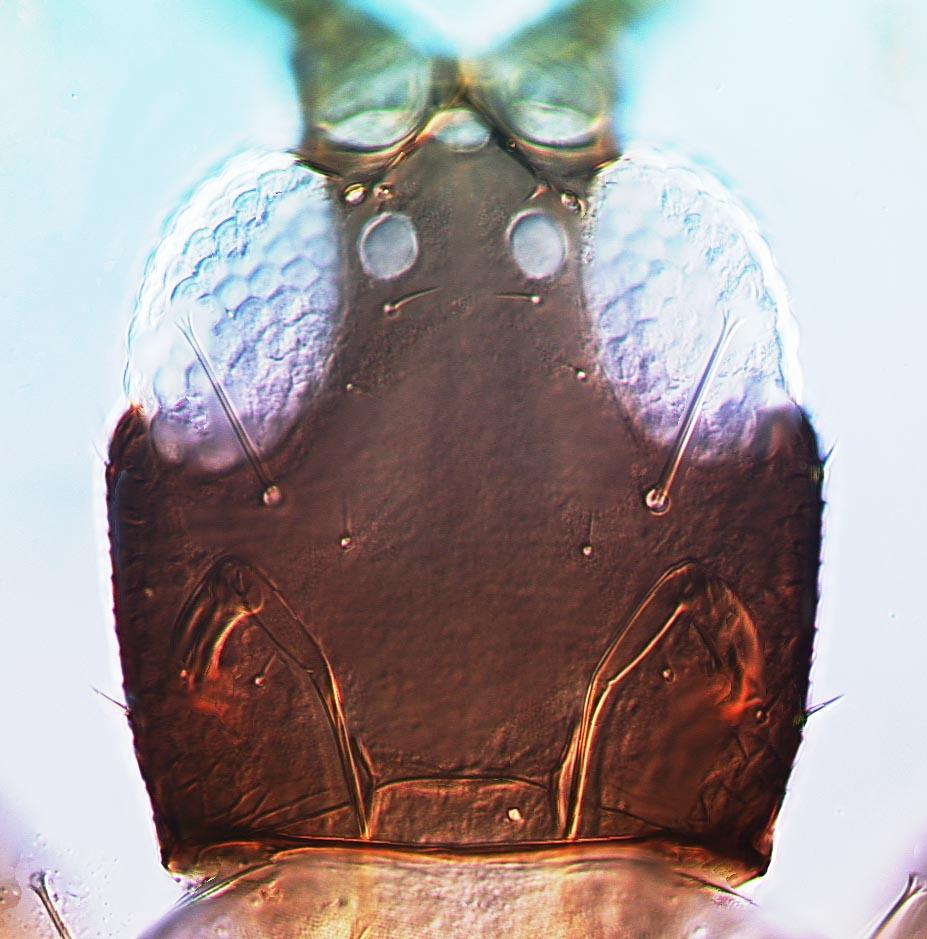 Adraneothrips fuscicollis