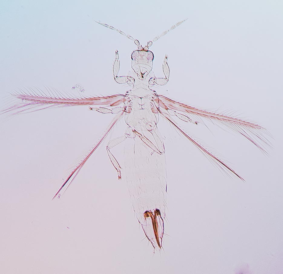 Trichromothrips xanthius