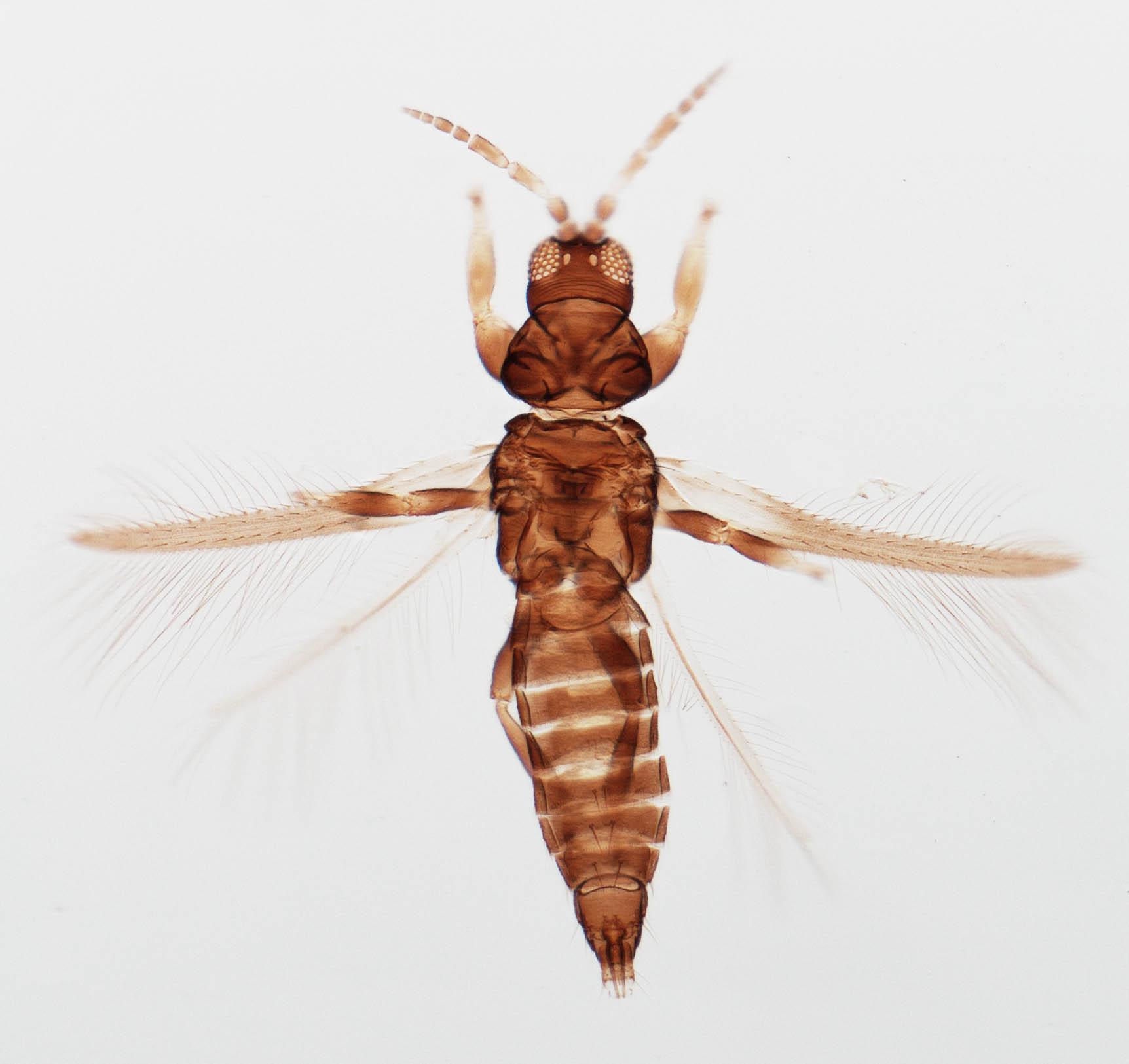 Lenkothrips guaraniticus