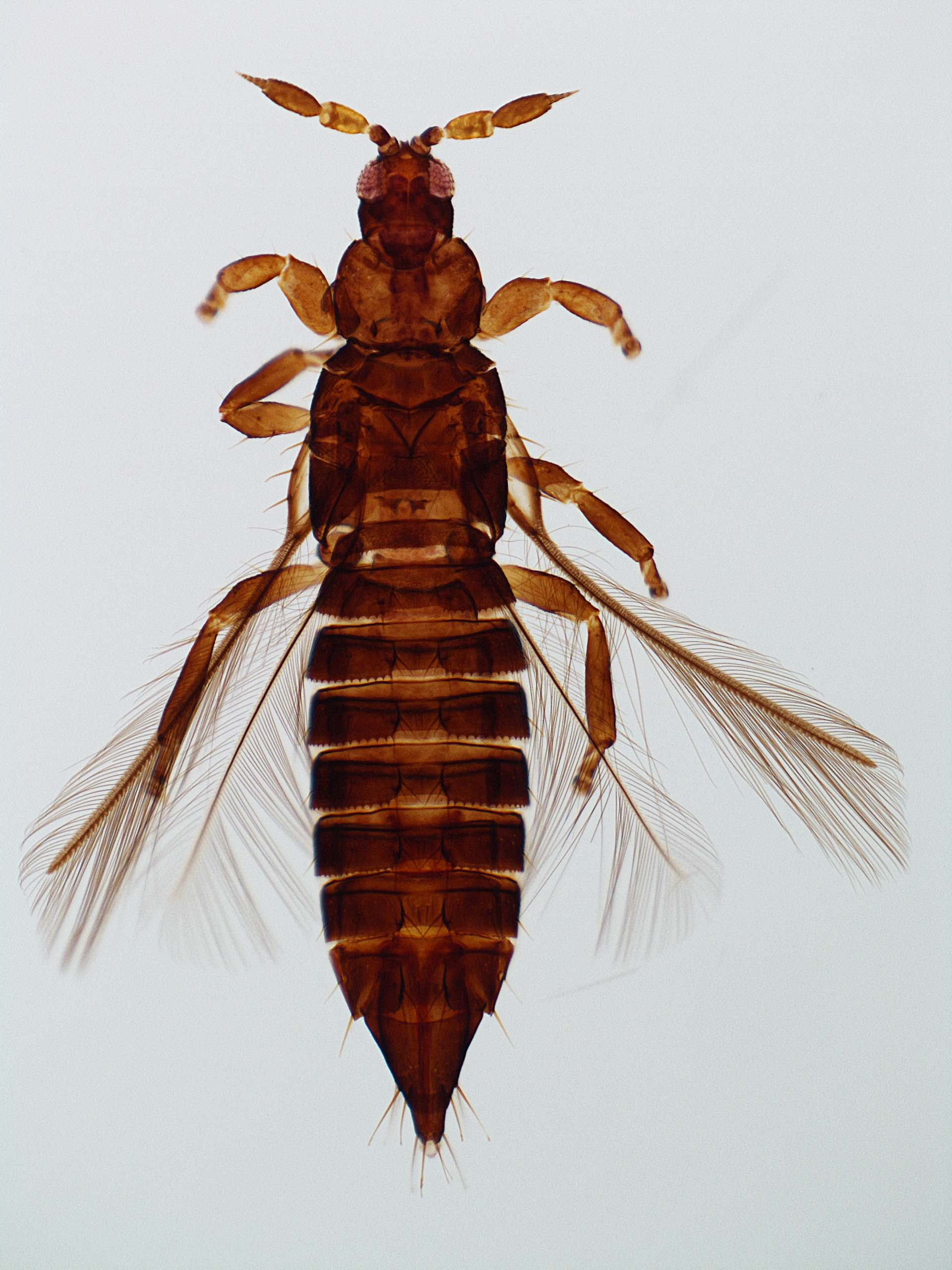 Aulacothrips dictyotus
