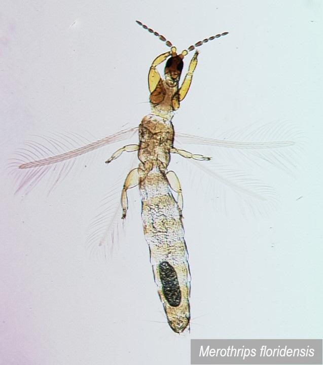 Merothripidae do Brasil