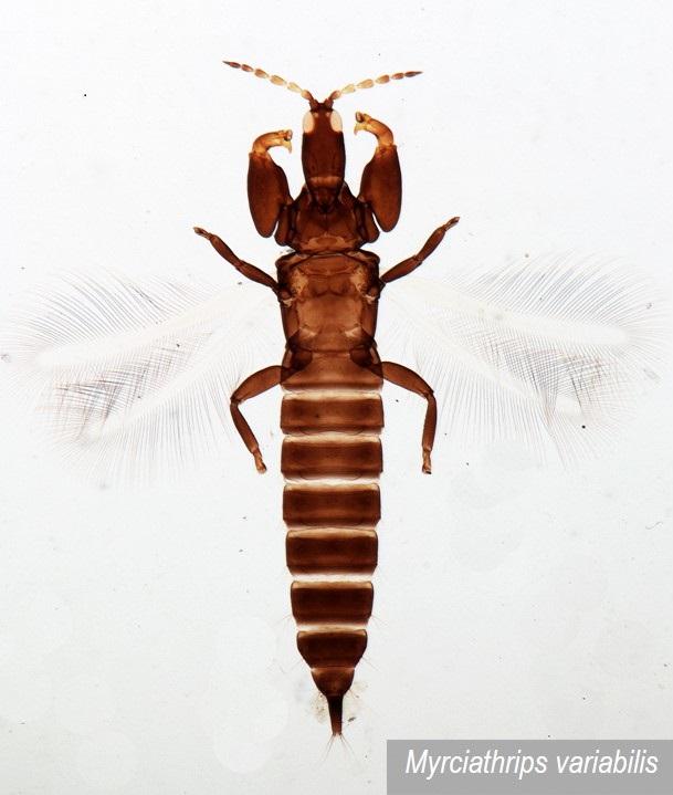 Phlaeothripidae do Brasil